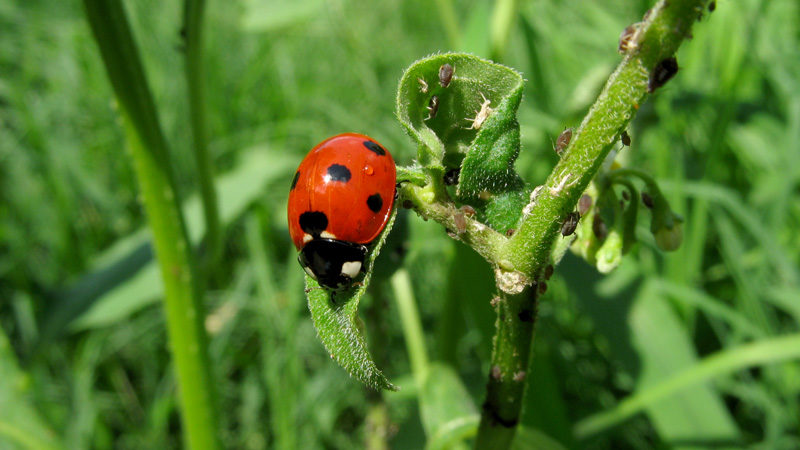 Coccinelle et des pucerons sur une herbe folle - photo Greyson Orlando (commons.wikimedia.org)