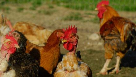 Prévention contre l'influenza aviaire (grippe aviaire)