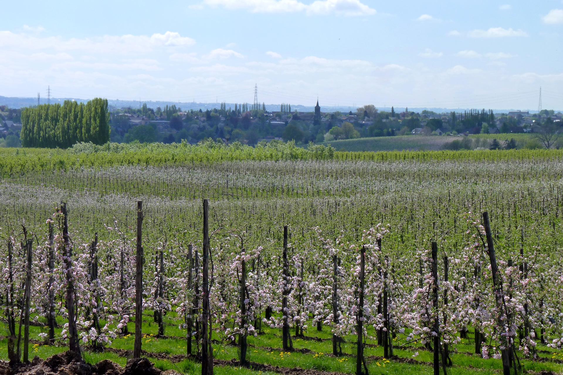 oupeye-fruiticulture-poiriers-a-hermee-photo-bernard-jacqmin