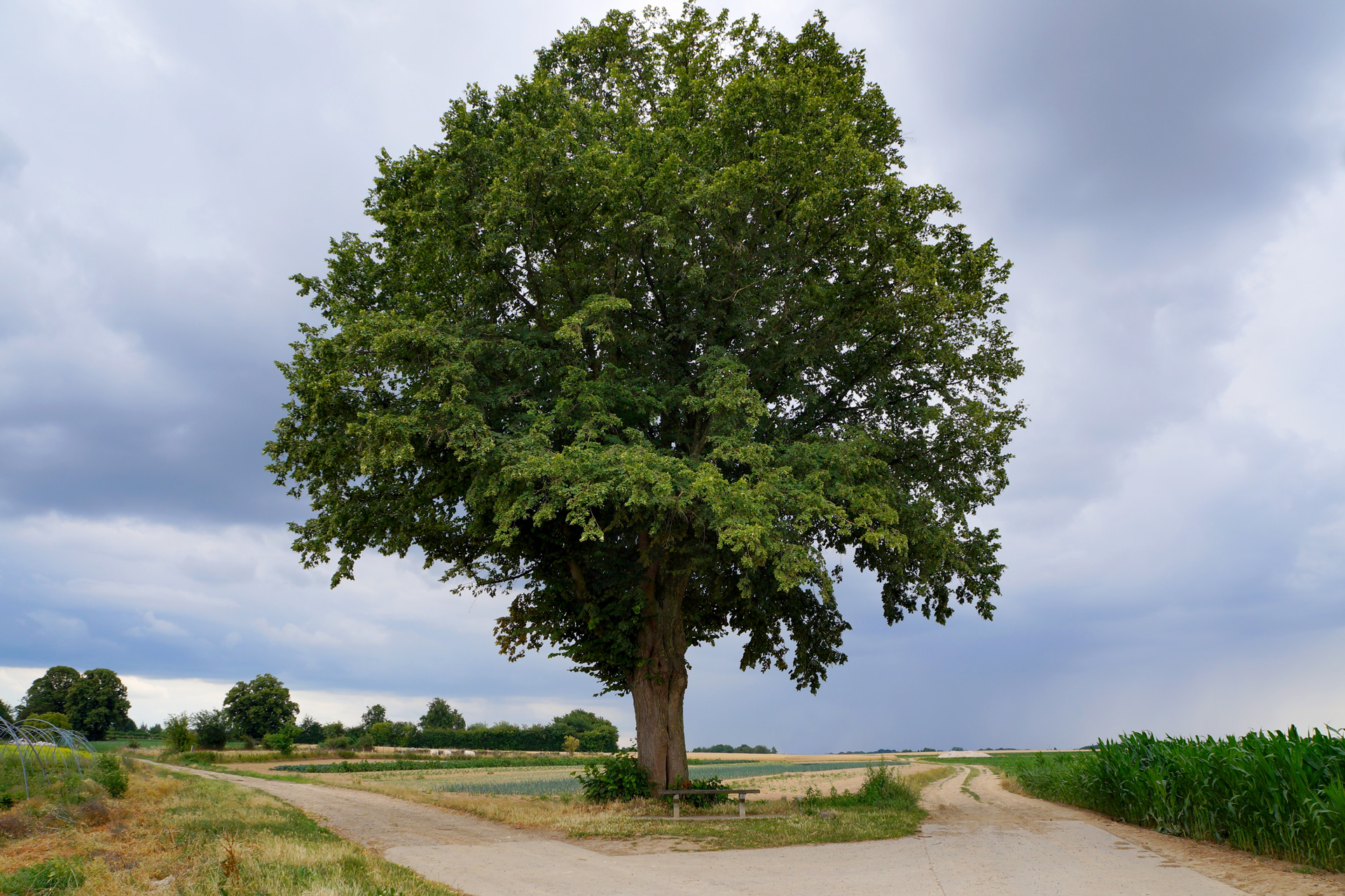 oupeye-l-arbre-patrote-a-houtain-saint-simeon-photo-bernard-jacqmin